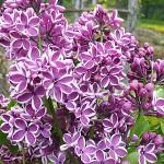 Syringa vulgaris L. 'Sensation' (Сирень обыкновенная 'Sensation') 3