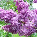Syringa vulgaris L. 'Shaura' (Сирень обыкновенная 'Шаура') 2