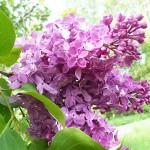 Syringa vulgaris L. 'Shaura' (Сирень обыкновенная 'Шаура') 3