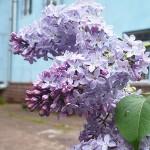 Syringa vulgaris L. (сирень обыкновенная)