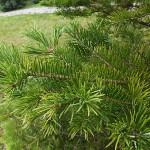 Abies holophylla Maxim. 5