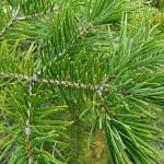 Abies holophylla Maxim. 6