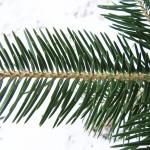 Abies holophylla Maxim. 9