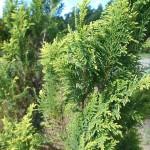 Ch. pisifera (Sieb. & Zucc.) Endl. 'Plumosa Aurea'