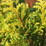 Ch. pisifera (Sieb. & Zucc.) Endl. 'Plumosa Aurea'  3