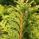 Ch. pisifera (Sieb. & Zucc.) Endl. 'Plumosa Aurea'  4