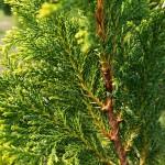Ch. pisifera (Sieb. & Zucc.) Endl. 'Plumosa Aurea'  5