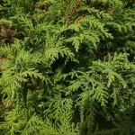 Ch. pisifera (Sieb. & Zucc.) Endl. 'Plumosa' (К. горохоплодный 'Plumosa') 2