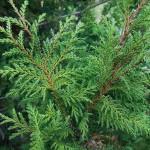 Ch. pisifera (Sieb. & Zucc.) Endl. 'Plumosa' (К. горохоплодный 'Plumosa') 3
