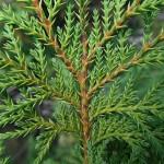 Ch. pisifera (Sieb. & Zucc.) Endl. 'Plumosa' (К. горохоплодный 'Plumosa') 4