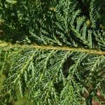 Ch. pisifera (Sieb. & Zucc.) Endl. 'Plumosa' (К. горохоплодный 'Plumosa') 5