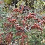 Ch. pisifera (Sieb. & Zucc.) Endl. 'Plumosa' (К. горохоплодный 'Plumosa') 7