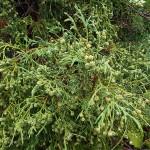 Ch. pisifera (Siebold & Zucc.) Endl. 'Filifera' (К. горохоплодный 'Filifera') 3
