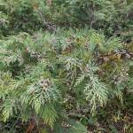 Chamaecyparis lawsoniana (A.Murray) Parl. (Кипарисовик Лавсона) 1