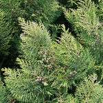 Chamaecyparis lawsoniana (A.Murray) Parl. (Кипарисовик Лавсона) 2