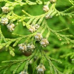 Chamaecyparis lawsoniana (A.Murray) Parl. (Кипарисовик Лавсона) 5