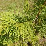 Chamaecyparis pisifera (Siebold & Zucc.) Endl. (Кипарисовик горохоплодный) 1