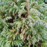 Chamaecyparis pisifera (Siebold et  Zucc.) Endl. 'Boulevard' 1