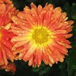 Хризантема корейская Гульфия, авторы Миронова Л.Н., Тухватуллина Л.А.