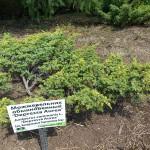 Juniperus communis L. 'Depressa Aurea' 1