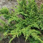 Juniperus communis L. 'Depressa Aurea' 2