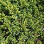 Juniperus communis L. 'Depressa Aurea' 3