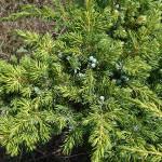 Juniperus communis L. 'Depressa Aurea' 4