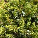 Juniperus communis L. 'Depressa Aurea' 5