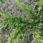 Juniperus communis L. 'Depressa Aurea' 7