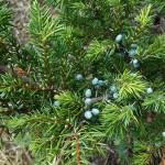 Juniperus communis L. 'Depressa Aurea' 8