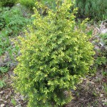 Juniperus communis L.  'Gold Cone' 1 (фото Р.В.Вафина)