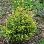 Juniperus communis L. 'Gold Cone' 2 (фото Р.В.Вафина)