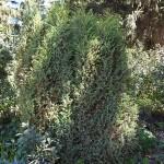 Juniperus communis L. 'Hibernica' 1