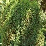 Juniperus communis L. 'Hibernica' 2
