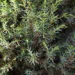Juniperus communis L. 'Hibernica' 3