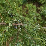 Juniperus communis L. var. depressa Pursh 4