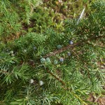 Juniperus communis L. var. depressa Pursh 5