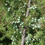 Juniperus communis L. var. depressa Pursh 6