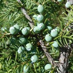 Juniperus communis L. var. depressa Pursh 7