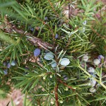 Juniperus communis L. var. depressa Pursh 8