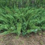 Juniperus sabina L. 1