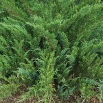 Juniperus sabina L. 2