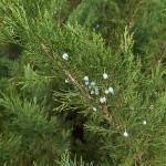 Juniperus sabina L. 4