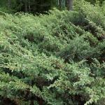 Juniperus sibirica Burgsd. 2