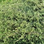 Juniperus sibirica Burgsd. 3
