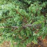 Juniperus sibirica Burgsd. 4