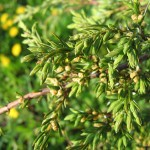 Juniperus sibirica Burgsd. 5