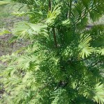 Metasequoia glyptostroboides Hu & W.C.Cheng 1