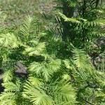 Metasequoia glyptostroboides Hu & W.C.Cheng 2