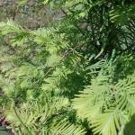 Metasequoia glyptostroboides Hu & W.C.Cheng 3